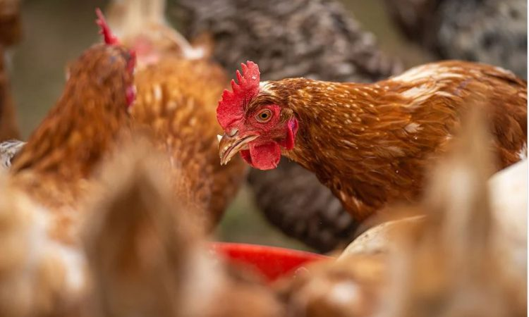 NI poultry farmers urged to take action following bird flu cases in Kent and Cheshire