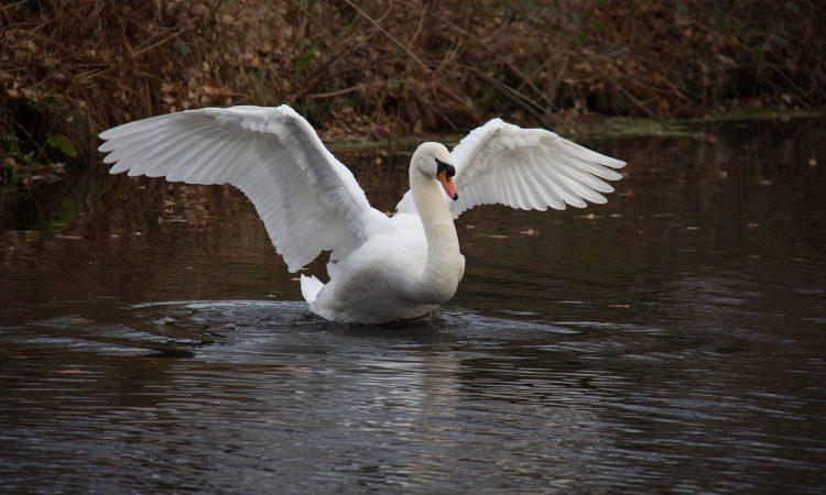 Avian Influenza detected in wild swan in Northern Ireland