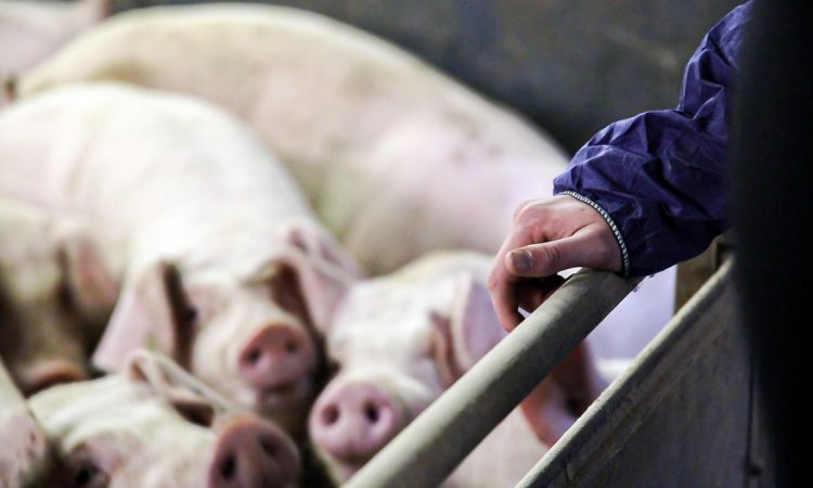 Over 13 million pigs assessed by AHDB Real Welfare scheme