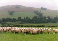 Welsh farmers reminded to complete annual sheep and goat inventory from