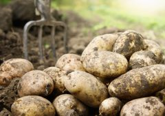 AHDB to release results from its Strategic Potato farm network project