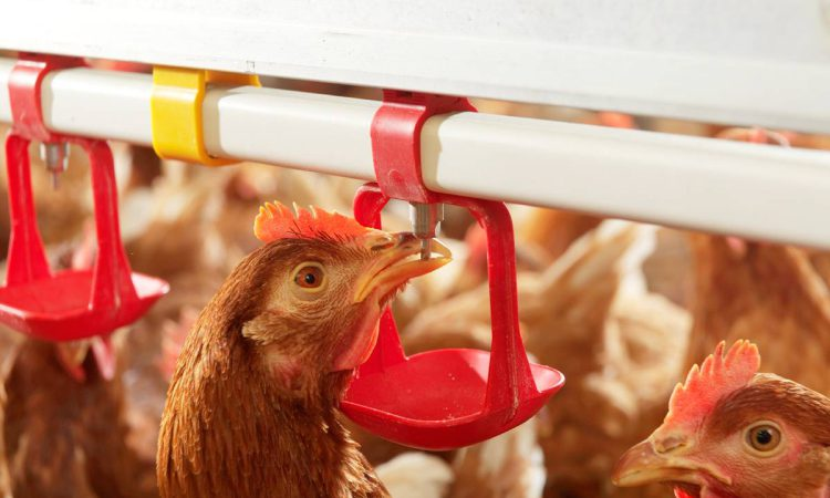 80,000 birds to be culled as H5N8 is confirmed in NI commercial flock