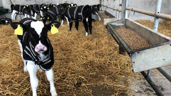 Pneumonia in calves: What are the causes and how to prevent it