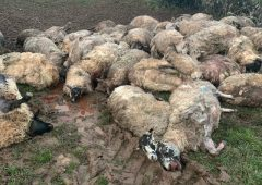Graphic: 50 sheep killed in dog attack on a Welsh farm