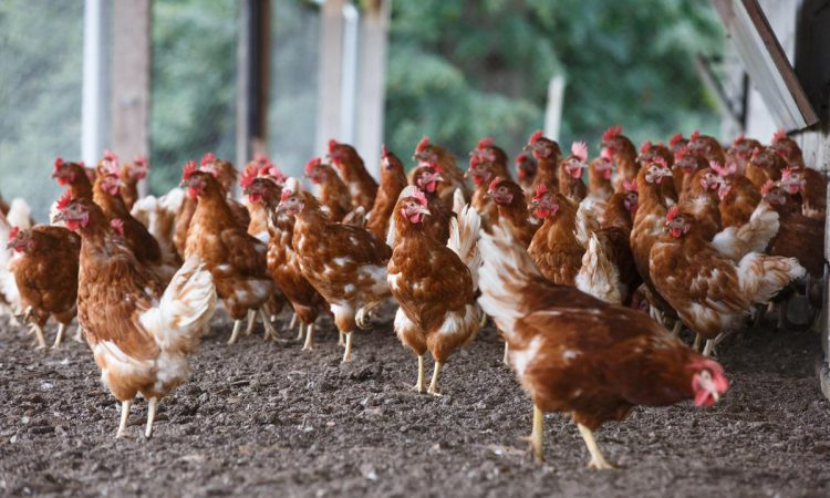 UFU urges vigilance after northern bird flu outbreak