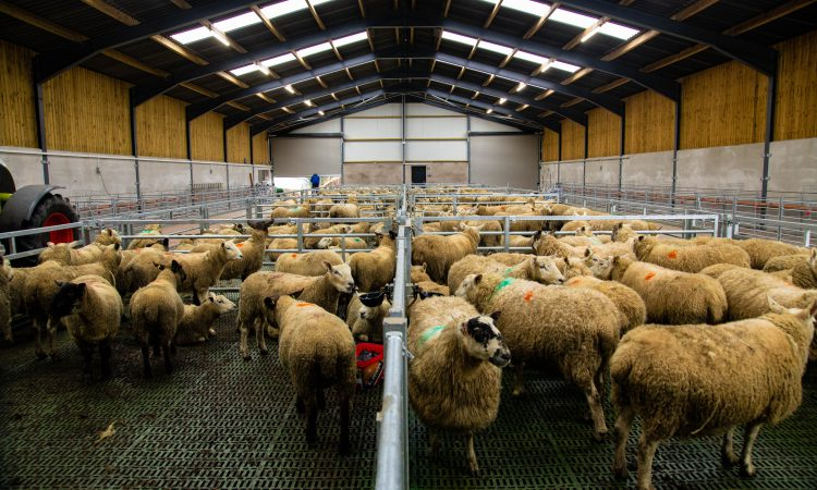Buildings Focus: A brand new slatted unit for a 300-ewe flock in Co. Tyrone