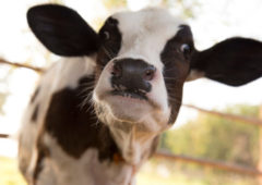 Helping break the cycle of disease at calving with effective biosecurity
