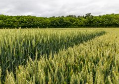 Genome-edited wheat to reduce cancer risk from bread