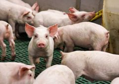 Government launches support measures for the pig industry