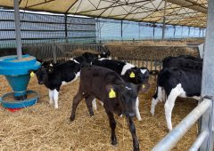 Boost calf daily liveweight gain this summer with ad-lib feeding