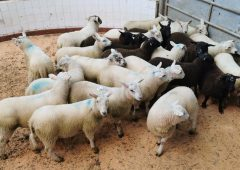 Northern sheep trade: Lamb quotes ease by 10c/kg