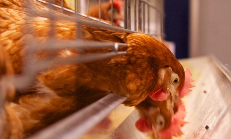 'Potentially serious' viral disease ILT discovered in poultry flocks in NI