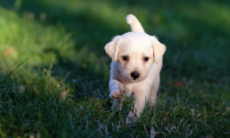 BVA welcomes new laws to crackdown on puppy smuggling