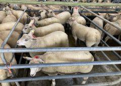 Northern sheep trade: Lamb prices take a 15-20p/kg hit