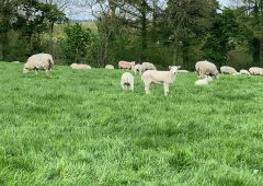 Average deadweight lamb prices in NI for May up £28 from last year