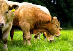 New beef tool could cut feed costs and reduce GHG emissions