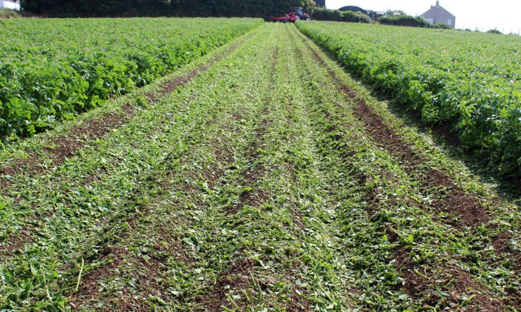 Desiccating potato crops: What are the options in 2021?