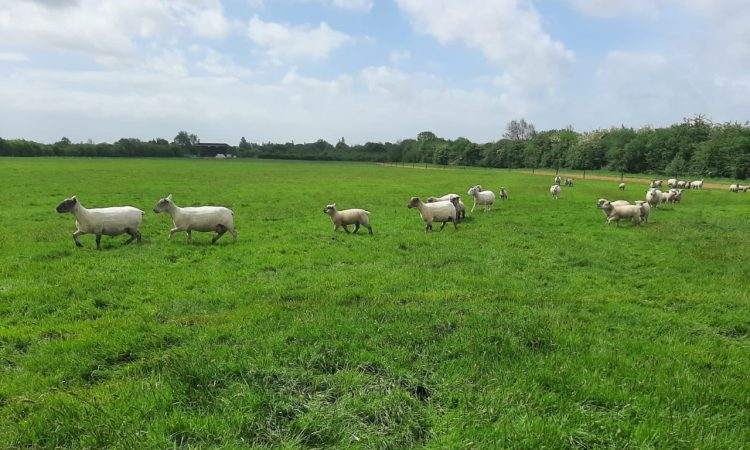 Northern Ireland witnesses a decline in sheepmeat production