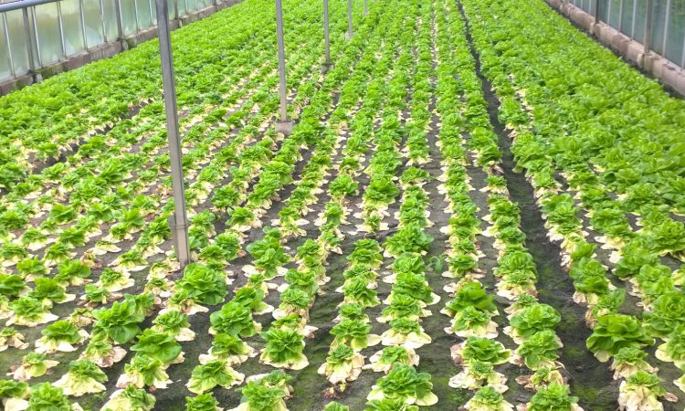 Ag-tech experts and growers to create prototype robotic lettuce harvester