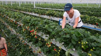First commercial volumes of vertically-grown strawberries set to hit the shelves in Tesco
