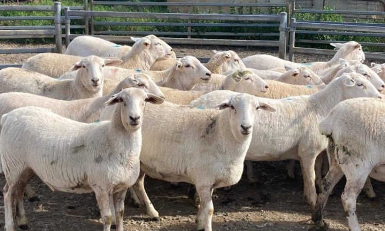 26 Australian White commercial ewes sell for 'record price' of almost £640/head