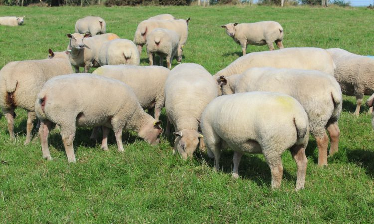 Iskeymeadow ram lamb sells for 3,400gns at Charollais sale