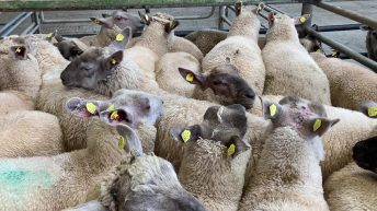UK sheepmeat exports for June back 37% on the same month last year