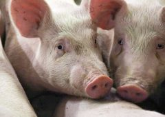UFU urges DAERA to act over NI's pig sector pressures