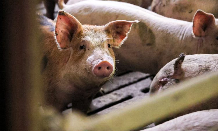 70,000 pigs backing up on UK farms amid worker shortage