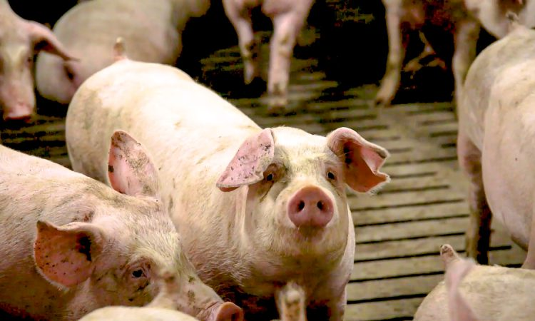 Mexican market access worth up to £50 million to British pork producers