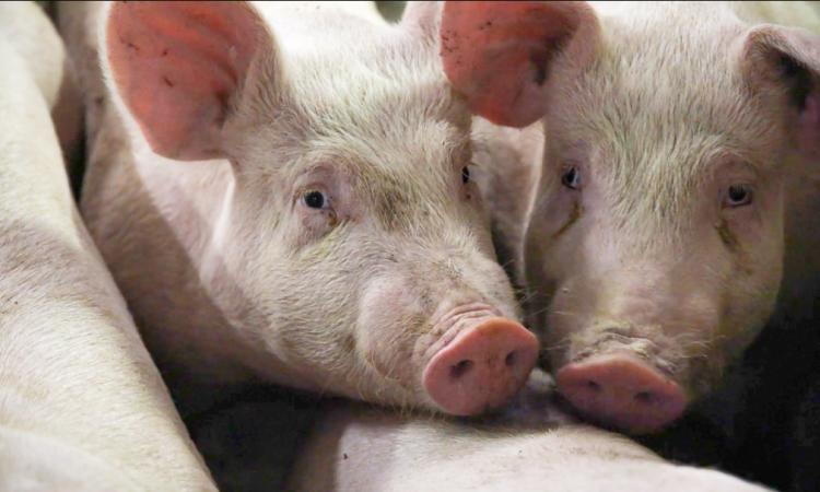 Pork crisis: NI's pig backlog to reach 24,000 by mid-October