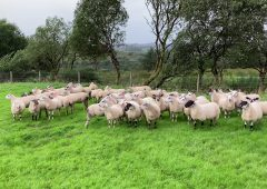 'Don't let worms hinder the fertility of ewe lambs ahead of breeding'