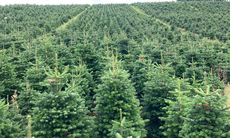 Labour shortage: Will we have enough Xmas trees this year?