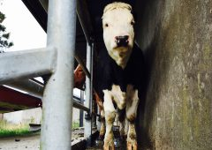 Steps to prevent the spread of TB within your herd