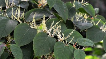 28% growth in Japanese Knotweed cases across the UK