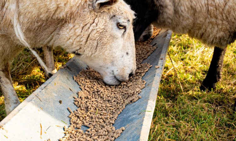 Sheep Breeders Round Table to include international ovine experts