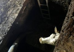 Four cows rescued from slurry pit in Cumbria