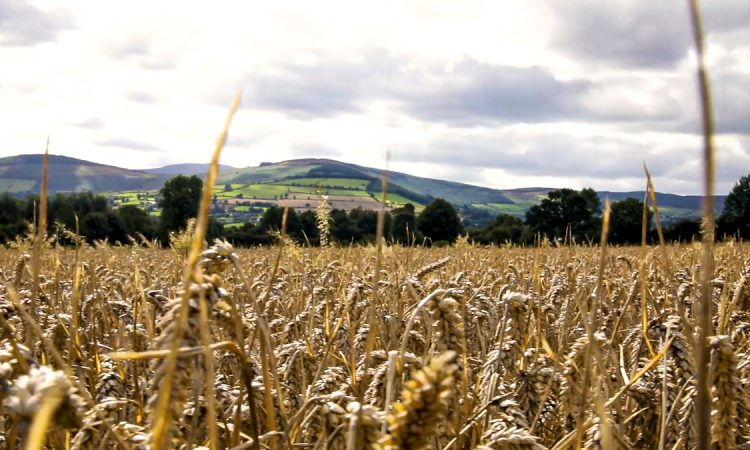 Government's 2021 wheat and barley production estimates released
