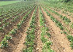 New disease-free potato is resistant to blight