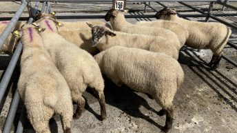 Shortage of lamb imports forecast for the UK Christmas period