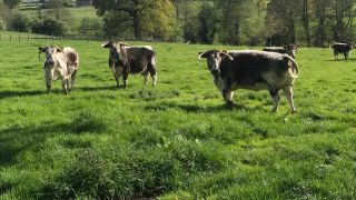 DM Longhorns grazing