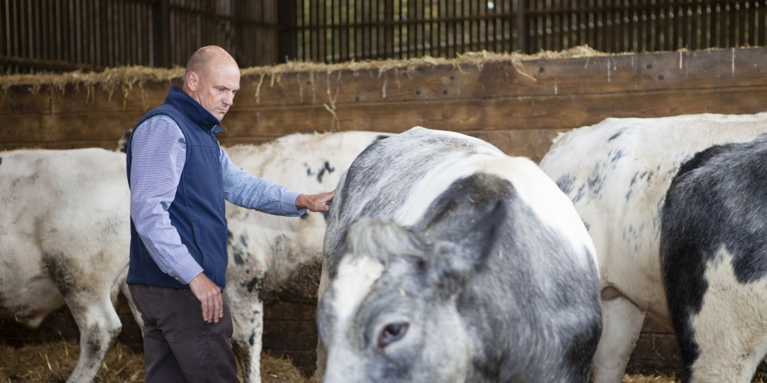 Terry with grey and white cow