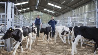 Calves in shed