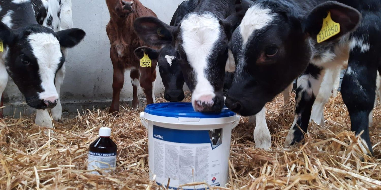 Calves investigating health products