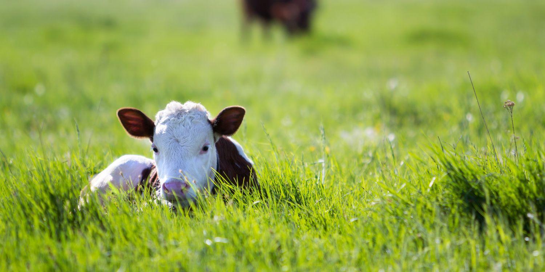 Calf in grass