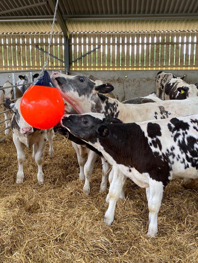 Calves in LL 2