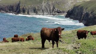Red Devons Cornwall 2