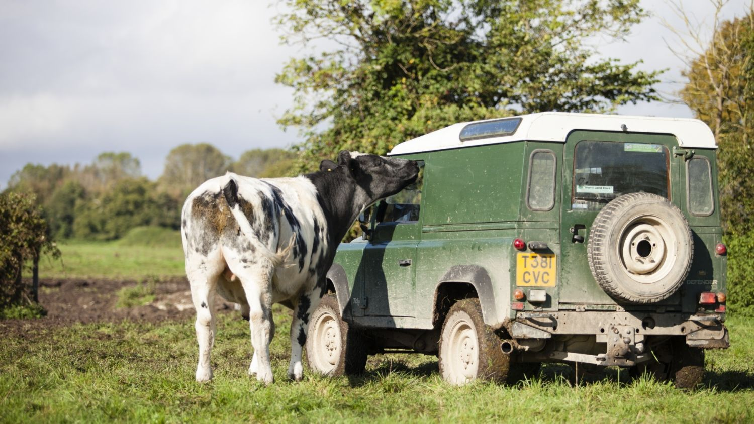 Cow land rover