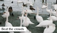 A flock of swans at Bowness Beach