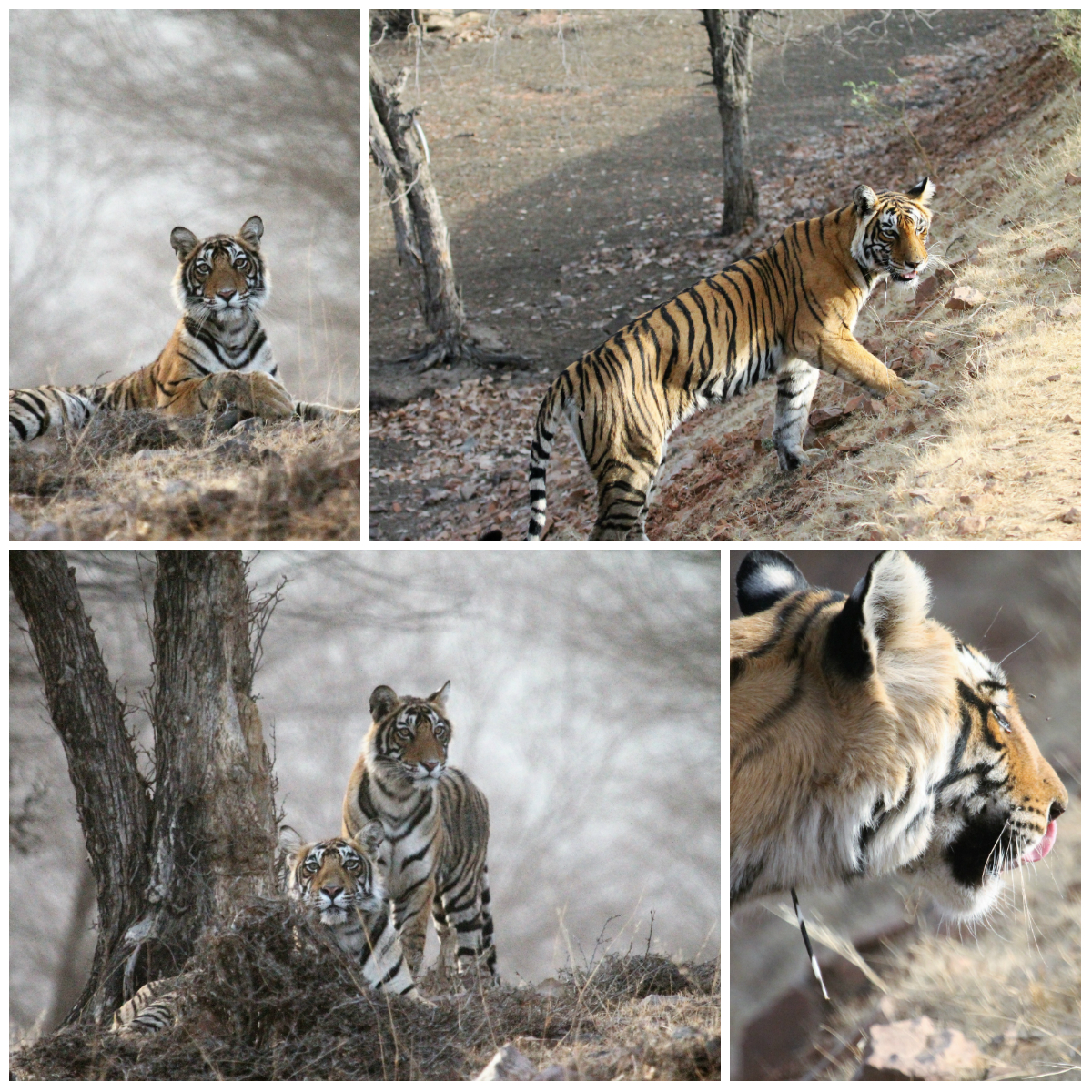 Tiger Safari Ranthambore National Park, India